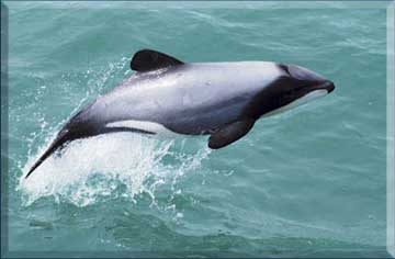 hector dolphin jumping